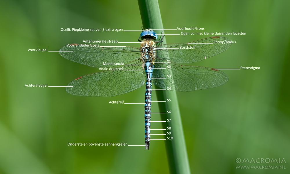 MACROMIA - Anatomie libellen/odonata